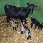 cabras01-Granja-Fundacion-Ilundain
