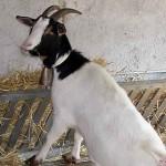 cabras03-Granja-Fundacion-Ilundain