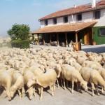 Conejos, ovejas y cerdos. Granja Escuela haritz Berri